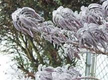 Recent storm covers a sage plant in ice