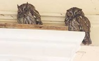 Nesting pair of screech owls