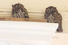Nesting pair of screech owls